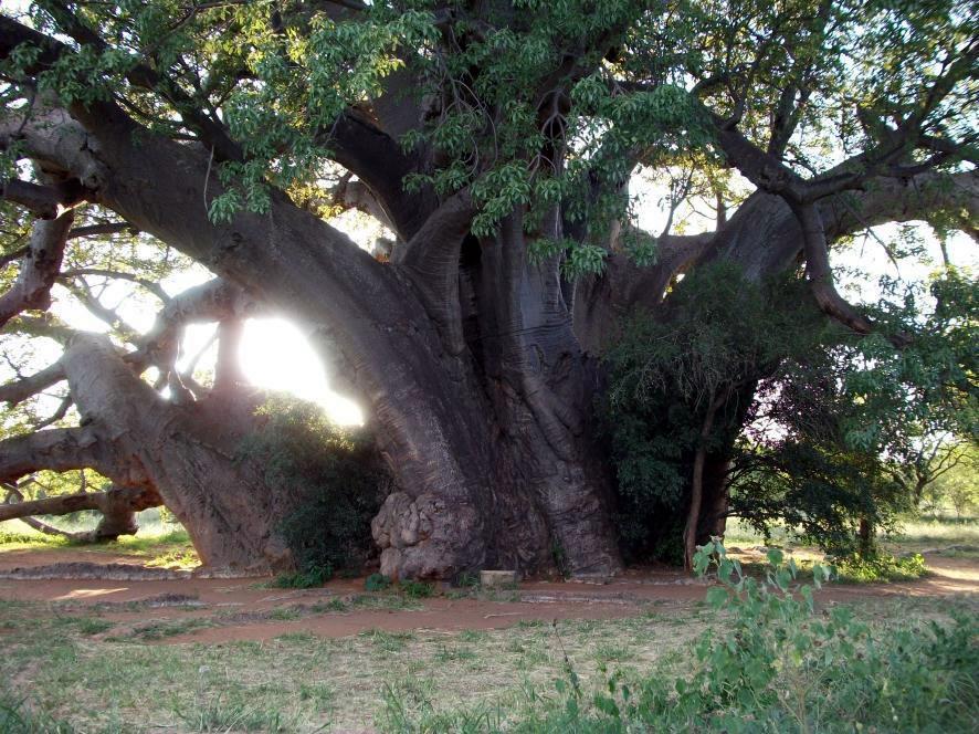 BIG TREE - ZWIGODINI.
