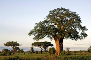 baobab-bg1