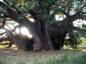 BIG TREE - ZWIGODINI.